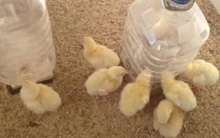 Цыплята суточные — содержание, вакцинация, кормление, температурный режим, видео
