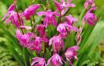 Орхидея блетилла — посадка и уход , как посадить луковицу, видео