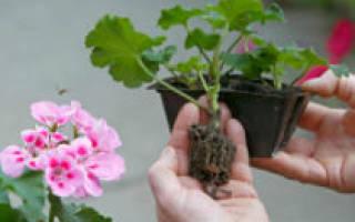 Герань — размножение в домашних условиях из семян, черенками весной, как размножить черенками в воде, видео