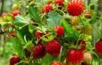Клубника садовая – царская ягода, видео о выращивании клубники