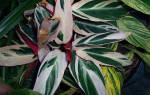 У строманты сохнут листья, причины и пути решения проблемы