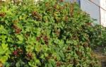 Ежевика — правила подготовки кустарника к зиме, обрезка, видео