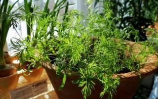 Как вырастить укроп в домашних условиях на подоконнике из семян + видео