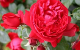 Плетистая роза Флорентина — описание с фото, посадка и уход