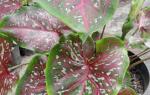 Цветок каладиум — уход в домашних условиях, фото, видео