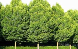 Дерево граб — фото и описание, ареал произрастания, свойства, видео