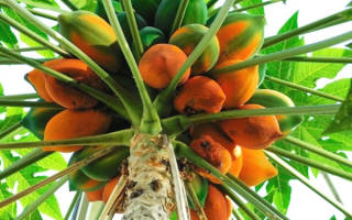 Дынное дерево — папайя, посадка и уход, фото с описанием, видео