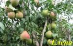 Сорт груши Елена — описание, посадки и уход, опылители, видео