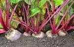 Болезни свеклы — аскохитоз, фото, описание, лечение красных и желтых листьев + видео