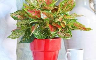 Аглаонема растение — размножение, пересадка, цветение, горшок, земля, видео