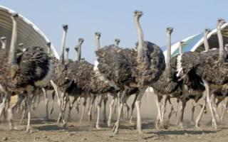 Ферма страусов на даче — мы решим эту задачу!